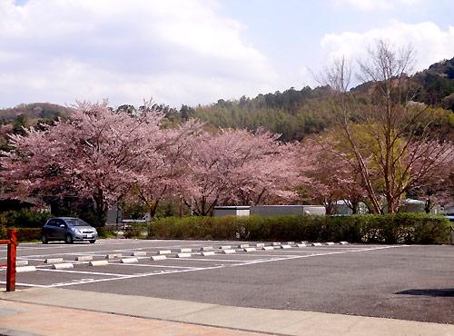 修善寺 桜模様